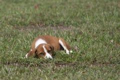 Cucciolo adorabile che dorme nell'erba verde fotografia stock