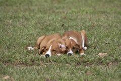 Cucciolo adorabile che dorme nell'erba verde fotografia stock libera da diritti