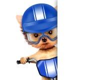Cucciolo adorabile che si siede su una bici con il casco Immagini Stock