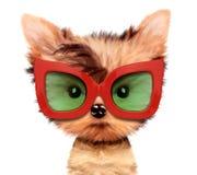 Cucciolo adorabile con gli occhiali da sole, isolati su bianco Fotografie Stock