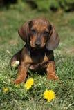 Cucciolo adorabile del bassotto tedesco che si siede nel giardino Fotografia Stock