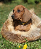 Cucciolo adorabile del bassotto tedesco che si siede nel giardino Fotografie Stock Libere da Diritti