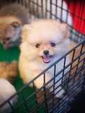 Cucciolo adorabile del cane della giovane piccola piccola razza pura sveglia con gli occhi innocenti solitari Immagine Stock Libera da Diritti