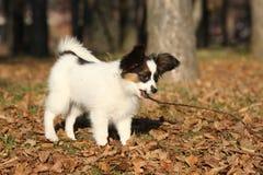 Cucciolo adorabile del papillon che gioca con un bastone Fotografie Stock
