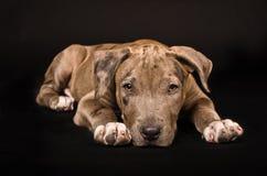 Cucciolo adorabile del pitbull Fotografia Stock Libera da Diritti