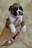Cucciolo adorabile del pugile Fotografie Stock Libere da Diritti