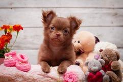Cucciolo adorabile della chihuahua che si siede su una coperta Fotografia Stock Libera da Diritti