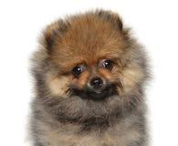 Cucciolo adorabile dello Spitz su fondo bianco immagini stock