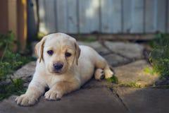 Cucciolo adorabile di golden retriever nell'iarda Fotografie Stock