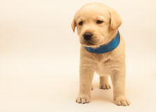 Cucciolo adorabile di labrador Fotografia Stock Libera da Diritti