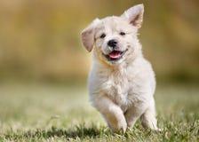 Cucciolo allegro di golden retriever Fotografia Stock
