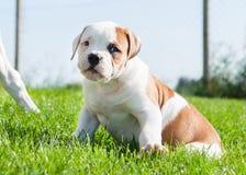 Cucciolo americano del bulldog sulla natura Fotografie Stock Libere da Diritti