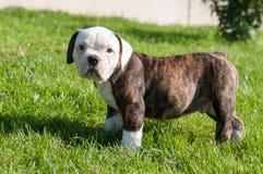 Cucciolo americano del bulldog sulla natura Immagini Stock Libere da Diritti