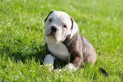 Cucciolo americano del bulldog sulla natura Fotografia Stock