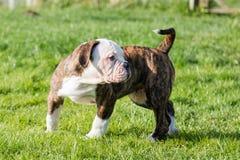 Cucciolo americano del bulldog sulla natura Fotografia Stock Libera da Diritti