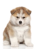 Cucciolo americano di inu del Akita Fotografie Stock Libere da Diritti