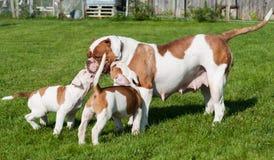 Cucciolo americano divertente del bulldog con la madre immagine stock libera da diritti