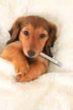 Cucciolo ammalato Fotografia Stock Libera da Diritti