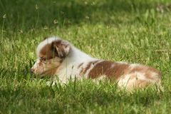 Cucciolo australiano Immagine Stock