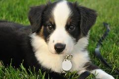 Cucciolo (australiano) australiano del pastore Immagini Stock Libere da Diritti