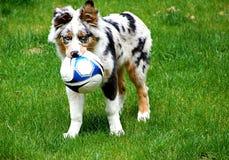Cucciolo australiano del pastore che gioca con una palla nell'erba Immagini Stock Libere da Diritti