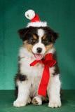 Cucciolo australiano del pastore con il cappello della Santa Fotografia Stock