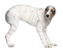 Cucciolo australiano del pastore in fasciature Fotografia Stock