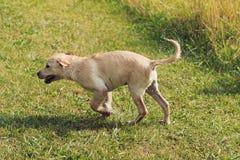 Cucciolo bagnato che scuote e che corre Fotografia Stock Libera da Diritti