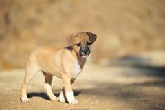 Cucciolo beige fotografia stock