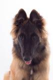 Cucciolo belga del cane di Tervuren del pastore, sei mesi, colpo in testa Fotografia Stock