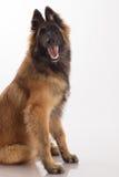 Cucciolo belga del cane di Tervuren del pastore, sei mesi, seduta, wh Fotografia Stock Libera da Diritti