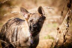 Cucciolo belga di Malinois del pastore Fotografie Stock Libere da Diritti