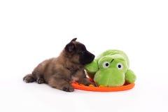 Cucciolo belga di Tervuren del pastore con il giocattolo Fotografia Stock