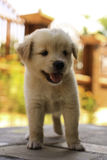Cucciolo bello Immagine Stock