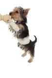 Cucciolo bendato dell'Yorkshire terrier su un osso fotografie stock libere da diritti