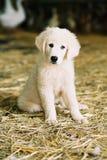 Cucciolo bianco Immagini Stock Libere da Diritti