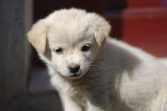 Cucciolo bianco bello Fotografia Stock Libera da Diritti
