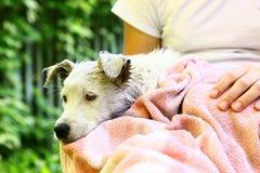 Cucciolo bianco del cane che è lavaggio con l'asciugamano bagnato Immagine Stock
