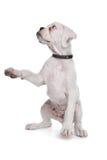 Cucciolo bianco del pugile Immagini Stock