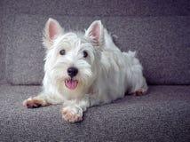 Cucciolo bianco del westie Immagini Stock Libere da Diritti