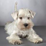 Cucciolo bianco dello schnauzer miniatura immagine stock