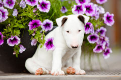 Cucciolo bianco di bull terrier con i fiori Immagini Stock Libere da Diritti