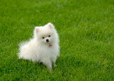 Cucciolo bianco di Pomeranian su prato inglese con stanza per testo Immagini Stock