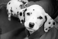 Cucciolo in in bianco e nero fotografia stock libera da diritti