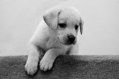 Cucciolo in bianco e nero Immagini Stock Libere da Diritti