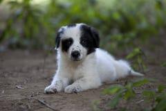 Cucciolo in bianco e nero sveglio che mette sulla terra fotografie stock libere da diritti