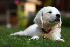 Cucciolo bianco sveglio che mette su prato inglese Fotografia Stock Libera da Diritti