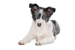 Cucciolo blu del collie di bordo del merle Fotografia Stock Libera da Diritti