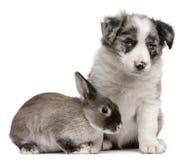 Cucciolo blu del Collie di bordo di Merle e un coniglio Fotografia Stock Libera da Diritti