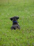 Cucciolo blu del Doberman Fotografie Stock Libere da Diritti